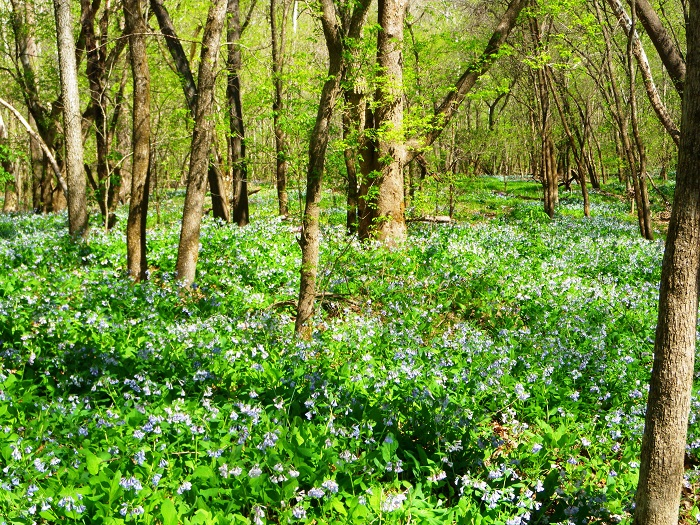 Bluebells in the Bottomlands; Jacks Fork River