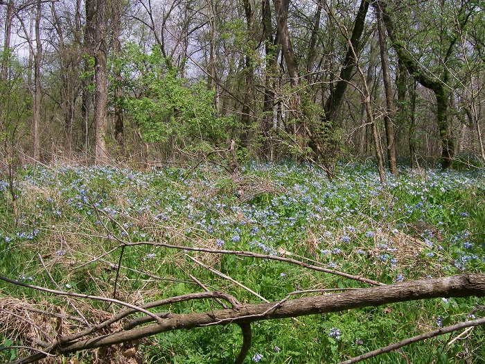 Bluebellls in bloom on Big Piney River, MO
